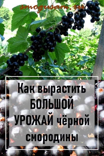 как вырастить черную смородину деревом